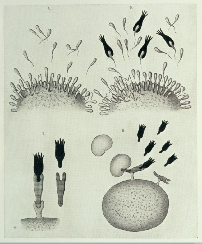 "Diagrams illustrating Paul Ehrlich's Croonian Lecture ""On Immunity with Special Reference to Cell Life,"" read 22 March 1900. Credit: Wellcome Library, London."