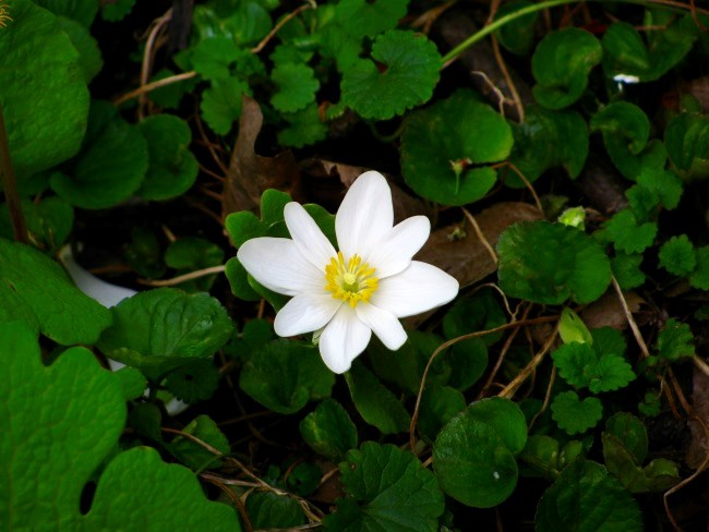 Bloodroot-containing products sold as a cure for cancer can be highly toxic and result in disfigurement.